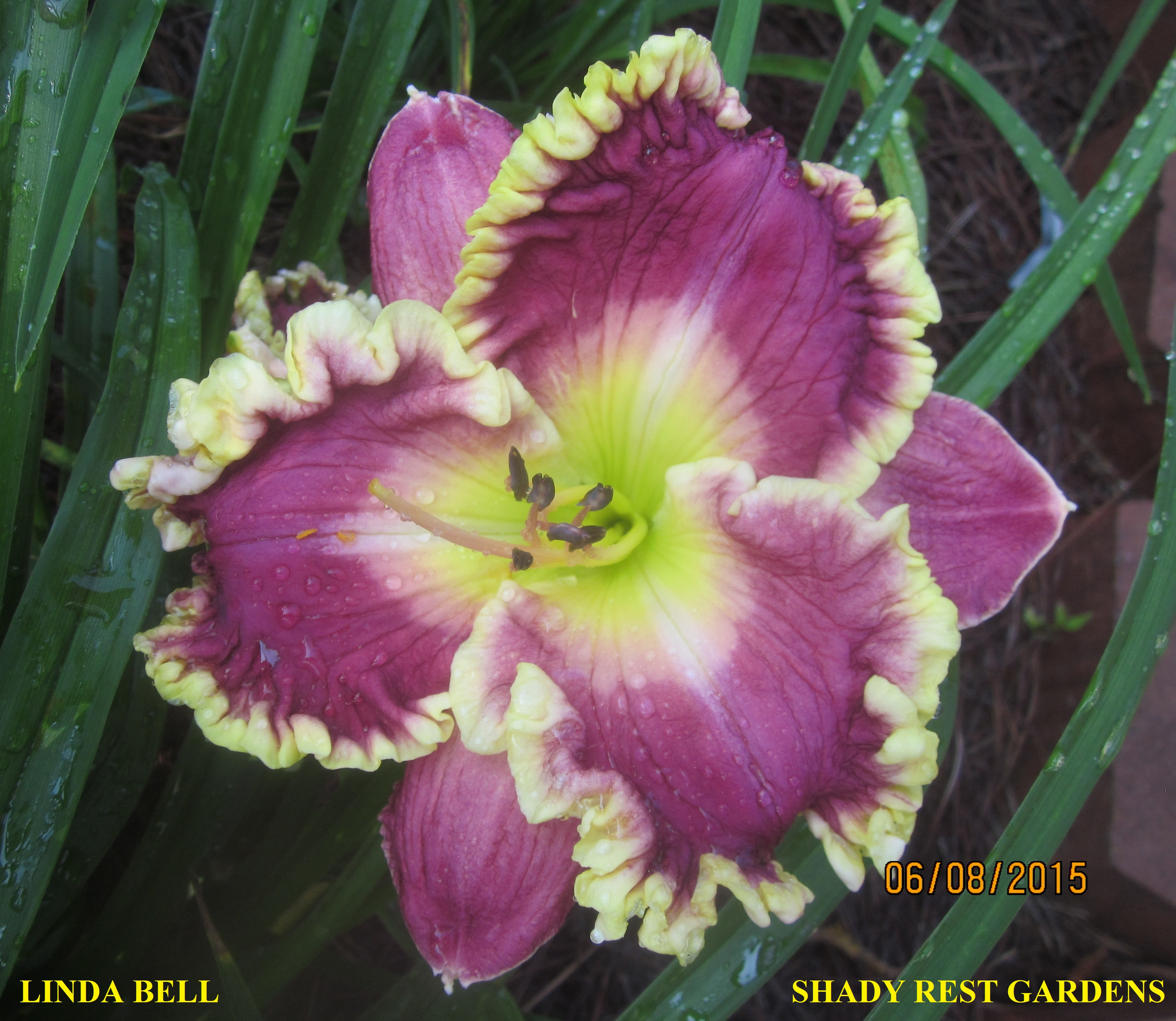 Linda Bell Daylily Plant 2 Fans